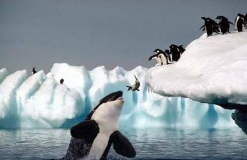 Orca_and_penguins