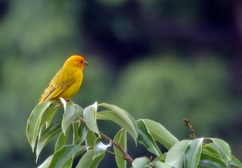 Yellow saffron finch