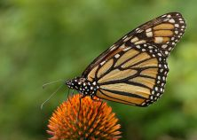 Monarch butterflies are everywhere