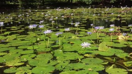 lake of lilies by Punulu'u black sands beach