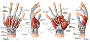 muscles-tendons-hand